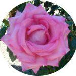Róża z Krety 450